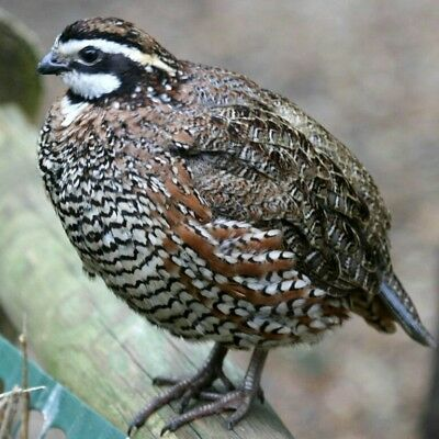 12 Optimum Hatch Jumbo Wisconsin Bobwhite Quail Eggs Fertile Hatching