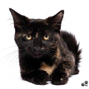 """Giselle"" Adoption- Perth Animal Rescue- Cat/Kitten"