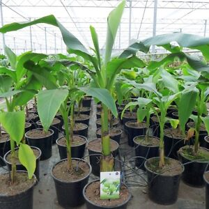 Banane Musa basjoo ca. 100 - 120 cm Bananenstaude