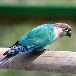 Looking for a young male conure