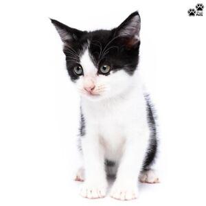 """""""Chivas Regal"""" Adoption- Perth Animal Rescue- Cat/Kitten"""