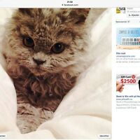 Breeding Selkirk rex 850 to 2500$ Wholly hair cat hypoallergique