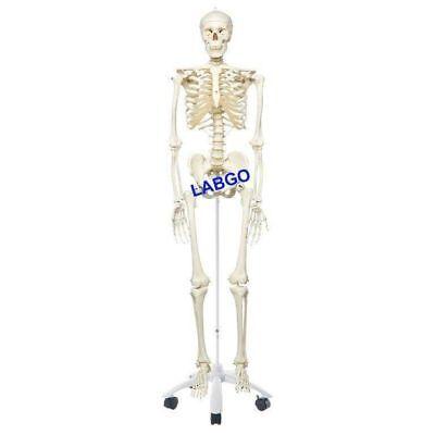 Human Skeleton Anatomical Model Labgo