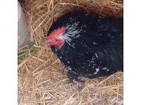 Pekin Bantam cockerel for sale - Black mottled