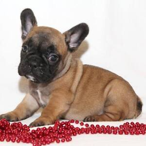 *PLEASE READ*FRENCH BULLDOG PUPPY MILL DOGS FROM THE UKRAINE