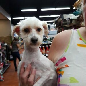 MATEUS - 3 YEAR OLD MALTESE/POODLE X - DOGWAY DOG RESCUE SOCIETY