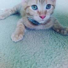 Kitten for sale Loganlea Logan Area Preview