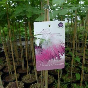 Albizia ca. 100  cm persischer Schlafbaum Seidenbaum Albizie julibrissin Akazie