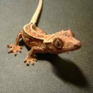 Many available Geckos - Reptile Race.