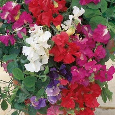 Sweet Pea- Royal Mix- (Lathyrus Odoratus)- 15 Seeds -  -