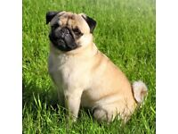 Pug of 1 year for sale