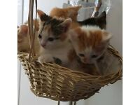Tortoise, Ginger and White, Tabby Kittens