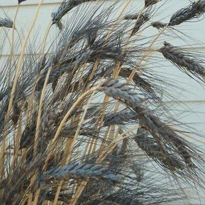 Wheat- Black Knight (Triticum Aestivum)- 10  Seeds