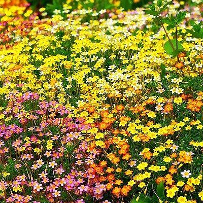 FRENCH HIBRIDS MIX - 600 seeds  - Leptosiphon Hybrida - DWARF BEDDING FLOWER