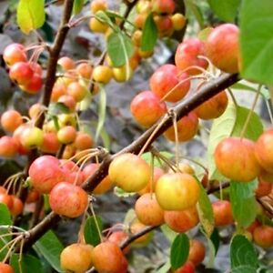 Crab Apple/ Malus Evereste Tree 4-5ft Tall, Make your Cider & Jelly