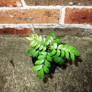 Small Curry Leave Tree - Plant Eastwood Ryde Area Preview