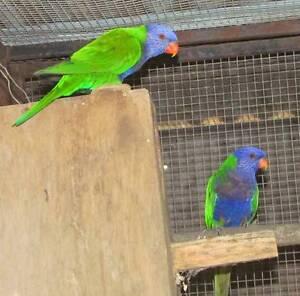Mutation Rainbow Lorikeets - Lutino, Blue Fronted & Pieds Jimboomba Logan Area Preview