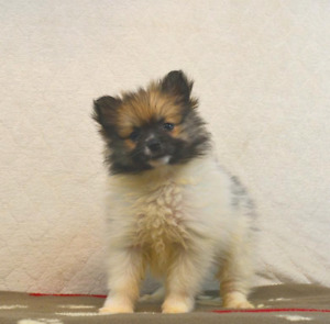 Fluffy Pomeranian Puppies looking for furever homes