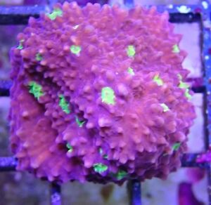 AFK REEF CORAL PATCH