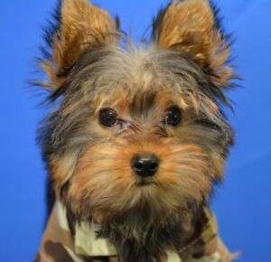 Teacup Male Yorkshire Terrier