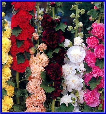 Chater's Double Mix Hollyhock 15 Seeds Beautiful Fluffy Flowers - GREAT COLORS!  (Double Mixed Colors Flower)