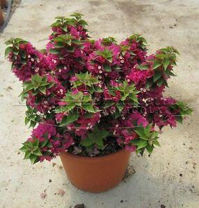 10pz bougainvillea mini thai pianta piante in vaso 7x7 for Bouganville in vaso