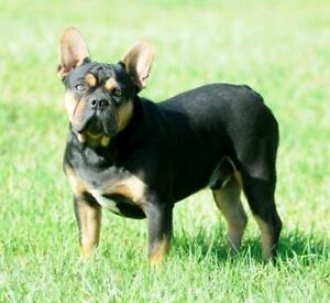 SUPER STUNNING PUREBRED FRENCH BULLDOG MALE