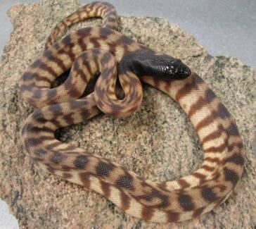 Pythons!