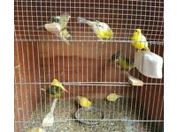 Last year's young Canaries for sale