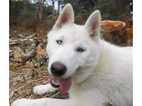 Pure White Siberian Husky Male - Pure Bred