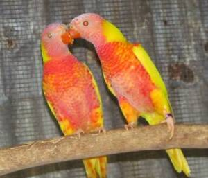 Young Lutino Rainbow Lorikeet males Jimboomba Logan Area Preview