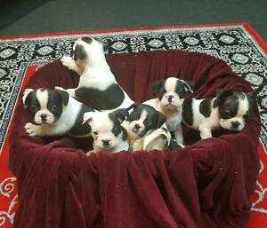 FRENCH BULLDOG PUPPIES Ballina Ballina Area Preview
