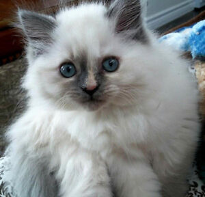 6 Month Old Female Ragdoll/Himalayan Cross Kitten