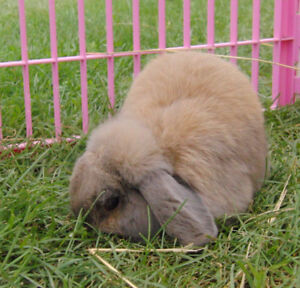 Free to good home! Very friendly Holland Lop bunny (buck)