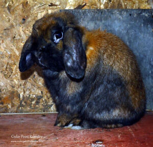 Proven Breeding Pair of Holland Lops