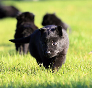 TOTALLY BLACK PUREBRED GERMAN SHEPHERD PUPPIES FOR SALE