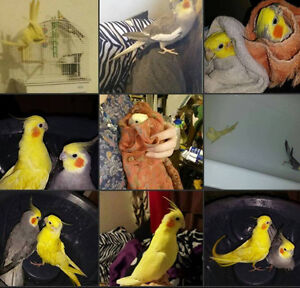 2 Cockatiels for sale, Cage and food included $130