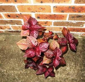Blood Leaf Plants Eastwood Ryde Area Preview