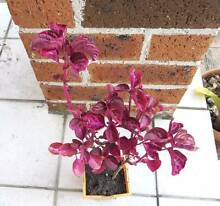 Bloodleaf Plant ! Eastwood Ryde Area Preview