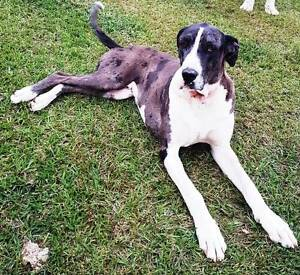 Beautiful Great Dane X Bull Arab Free to good home. Pie Creek Gympie Area Preview