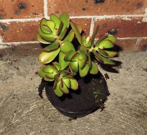 Succulent - Money Tree - Jade Plant Eastwood Ryde Area Preview