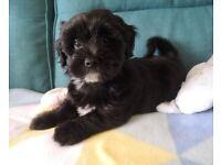 Havanese /Tibetan terrier puppies ready to go