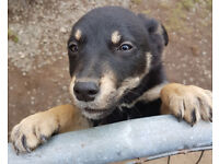 3 Kelpie puppies Black/tan female