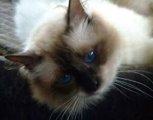Stunning Seal point Birman Male Glass House Mountains Caloundra Area Preview
