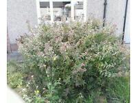 Mature shrubs