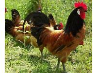Two Vorwerk Chick chickens hen cock
