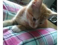 Bengal/ginger kitten