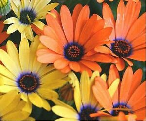African Daisy Mix- 100 Seeds - 50 % off sale