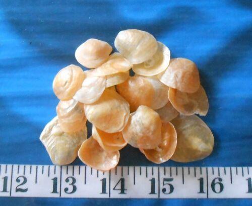 ~ Jingle Shells ~ 20 Golden-Orange ~Seashells~ Shellcraft~ Sailor