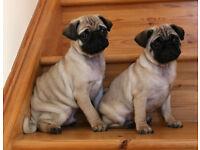 Purebred, Kennel Club Registered Pug Puppies